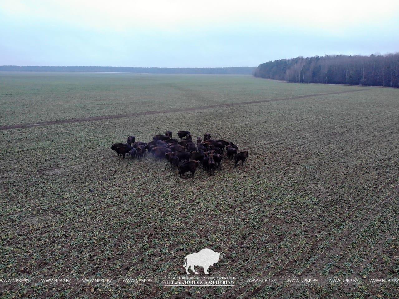 В Беловежской пуще увеличилось поголовье зубров